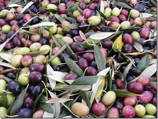 jeanne, olive picking 085