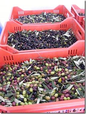 jeanne, olive picking 084