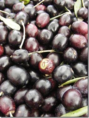 jeanne, olive picking 089