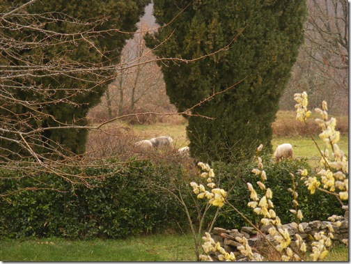 march 2011 sheep 004