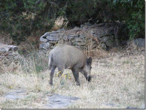 boars, july 4 068