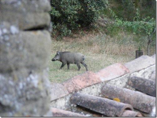 boars, july 4 071