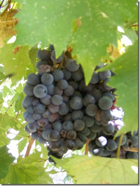 georges grapes 008