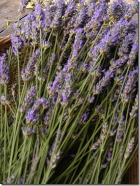 lavendar, arezzo june posters 009