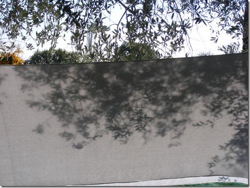 okra, fall2012 020