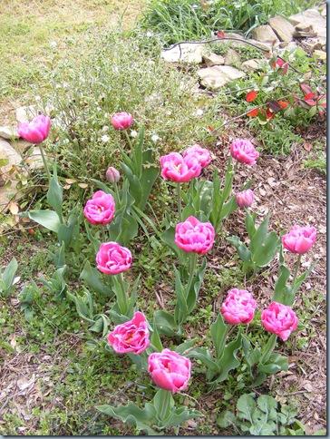 april 2016, john's tulips 020