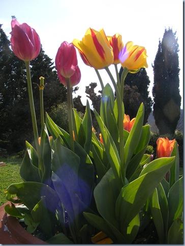 april 2016, john's tulips 027