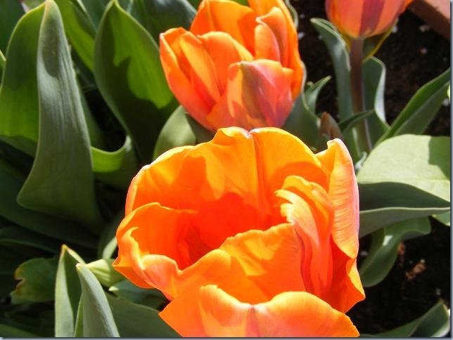 april 2016, john's tulips 033